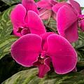 Hot Pink Orchids by Janet Deskins