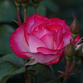 Hot Pink Rose by Carrie Goeringer