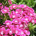 Hot Pink Sweet William Flowers In A Garden Blooming by DejaVu Designs