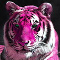 Hot Pink Tiger by Rebecca Margraf