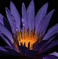 Hot Purple Water Lily by Sabrina L Ryan
