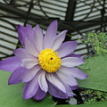 Hothouse Waterlily by Heather Lennox