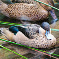 Hottentot Teal by Dan Lease