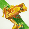 Hourglass Frog by Christina Beck