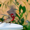 House Finch - 2 by Alan C Wade