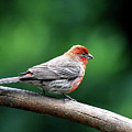House Finch . 40d7227 by Wingsdomain Art and Photography