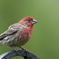 House Finch by Clifford Pugliese