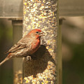 House Finch by Diane Schuler