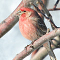 House Finch In An Apple Tree by Laurie With