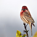 House Finch In Autumn Rain by Laura Mountainspring