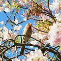 House Finch In The Cherry Blossoms by As the Dinosaur Flies Photography