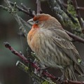 House Finch On A Rainy Day by Glen Faxon