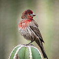 House Finch Perched On Cactus  by Saija Lehtonen