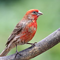 House Finch by Wingsdomain Art and Photography