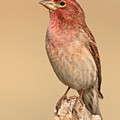 House Finch With Crest Askew by Max Allen