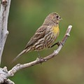 House Finch With Yellow Breast 1  by Linda Brody