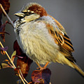 House Sparrow 1 by Richard Xuereb