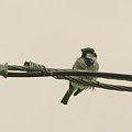 House Sparrow by Alicia Collins