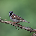 House Sparrow by Jan M Holden