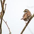 House Sparrow by Steven Jones