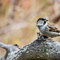House Sparrow by Torbjorn Swenelius