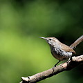 House Wren . 40d8055 by Wingsdomain Art and Photography