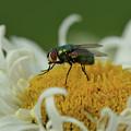 Housefly On Daisy by Barbara Treaster