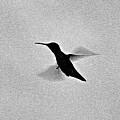 Hover Of The Hummingbird by Debra     Vatalaro
