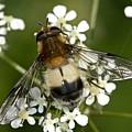 Hoverfly Leucozona Lucorum by Bob Kemp