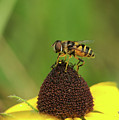 Hoverfly On Brown Eyed Susan by Michael Peychich