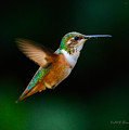 Hovering Allen's Hummingbird by Brian Tada