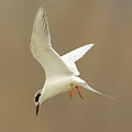 Hovering Tern by Robert Frederick