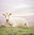 How Now White Cow by Heather Applegate