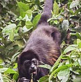 Howler Monkey Eating Fruit by NaturesPix