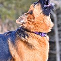 Howling Gsd by Danielle Sigmon