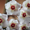 Hoya Bella Bloom by Sheri Bartoszek