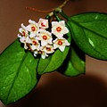 Hoya Carnosa by Lori Mahaffey