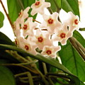 Hoya by Stephanie Moore