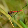 Hudsonian Whiteface Dragonfly by Sally Sperry