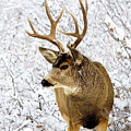Huge Buck Deer In The Snowy Woods by Steve Krull