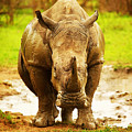 Huge South African Rhino by Anna Om