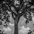 Huge Tree 12 by Totto Ponce