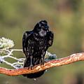 Huginn The Raven by Torbjorn Swenelius