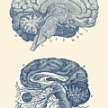 Human Brain - Central Nervous System - Vintage Anatomy Print by Vintage Anatomy Prints