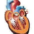 Human Heart Anatomy, Artwork by Jose Antonio PeÑas