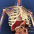 Human Skeleton Showing Digestive System by Stocktrek Images