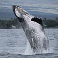 Humback Whale Breaching by Pamela Walton