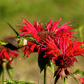 Hummer In The Bee Balm by Teresa A and Preston S Cole Photography