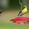 Hummer Vs. Finch 1 by Lou Ford