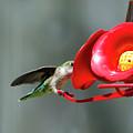 Humming Bird 6 by David Stasiak